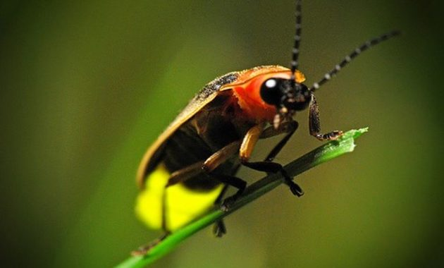 Animals that Start with the Letter F : Firefly