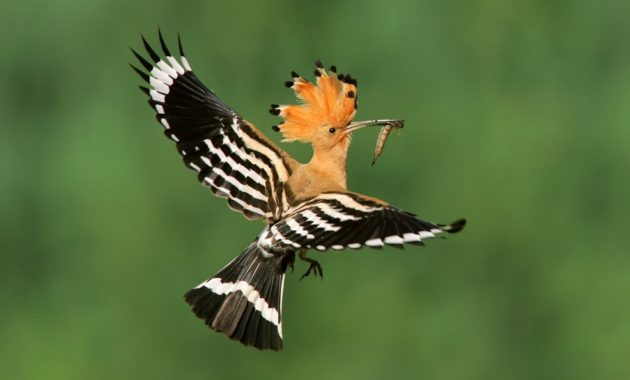 animals that start with h: Hoopoe