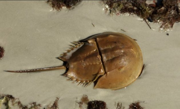 animals that start with h: Horseshoe crab