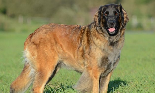 animals that start with l : Leonberger