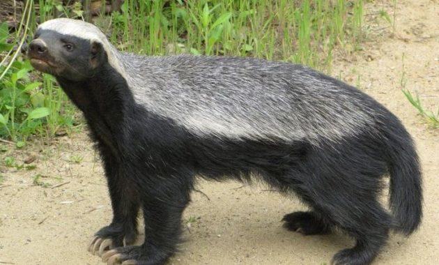 animals that start with h: Mellivora capensis
