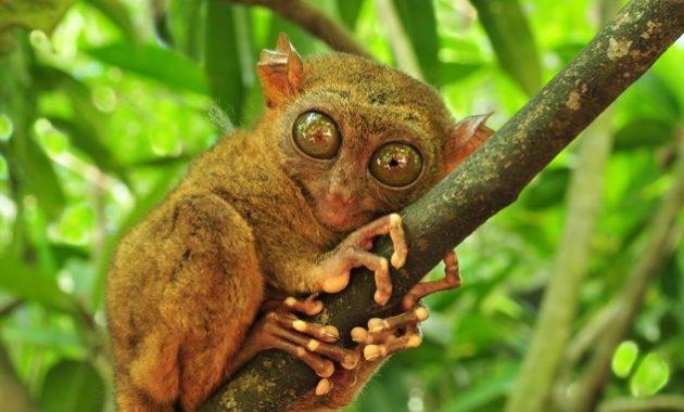 Animals that start with t:Tarsier