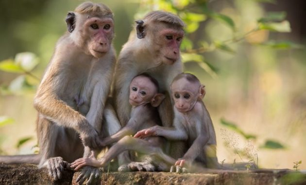Animals that start with t: Toque Macaque