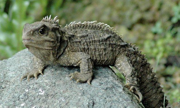 Animals that start with t: Tuatara