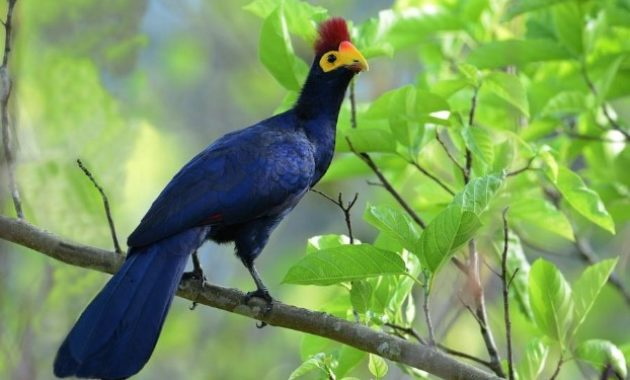 Animals that start with t: Turaco