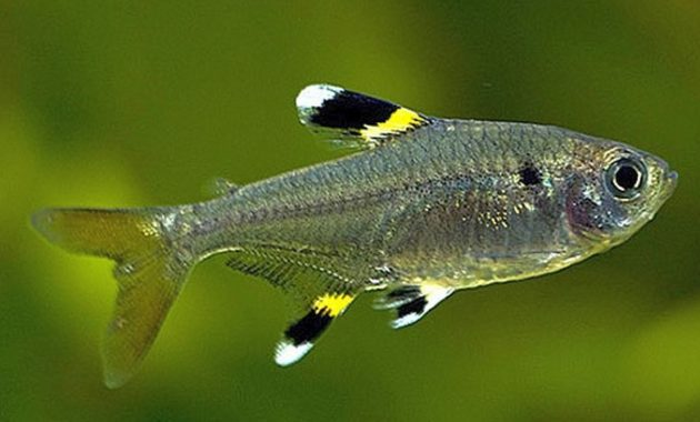 animals that start with x : X-Ray Tetra
