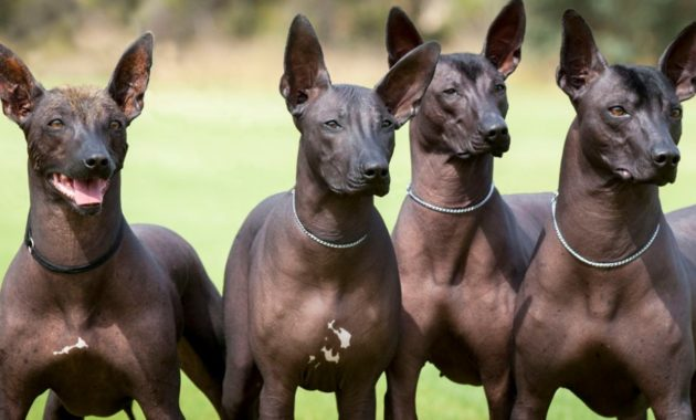 animals that start with x : Xoloitzcuintli