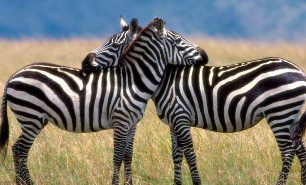 animals that start with z: Zebra