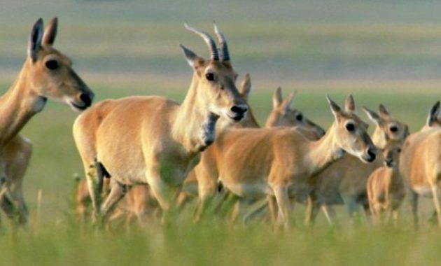 animals that start with z: Zeren