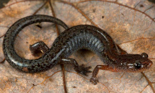 animals that start with z: Zigzag Salamander