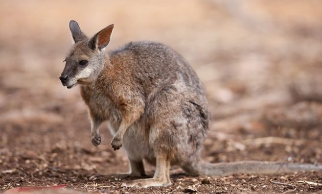 Animals that start with t: tammar wallaby