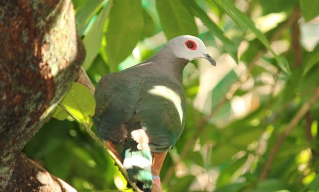 animals that start with z: zone tailed pigeon