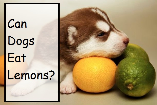 Can Dogs Eat Fruit? Like Oranges, Watermelon, Cherries, Pears, Papaya and Lemons?