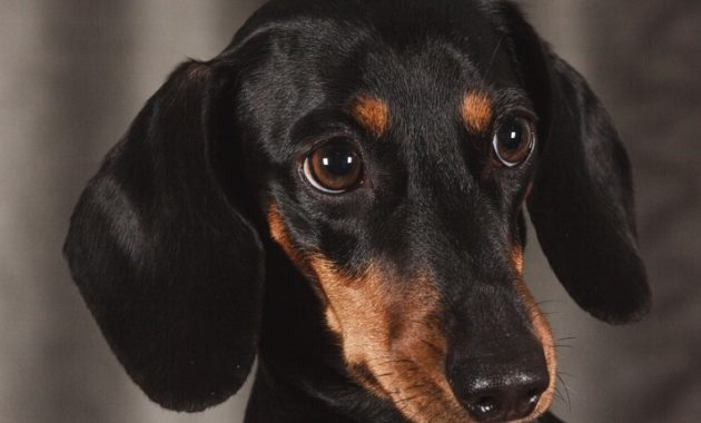 animals that start with D: Dachshund