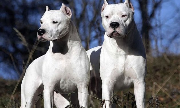animals that start with D: Dogo Argentino
