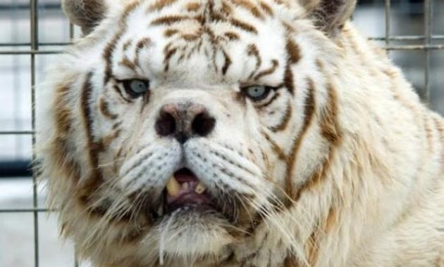 down syndrome animals tiger