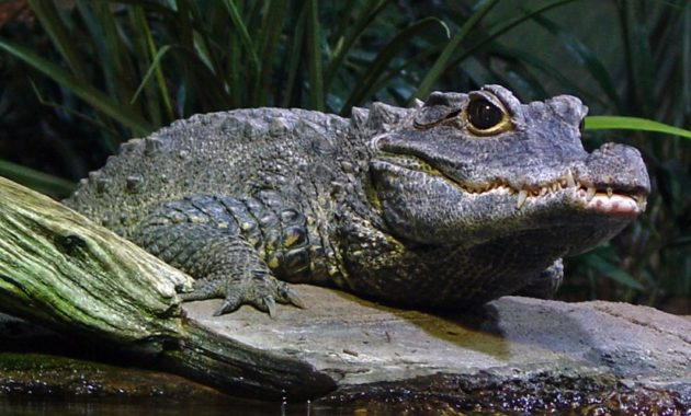 animals that start with D: Dwarf Crocodile