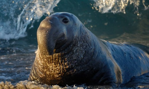 animals that start with e: Elephant seal