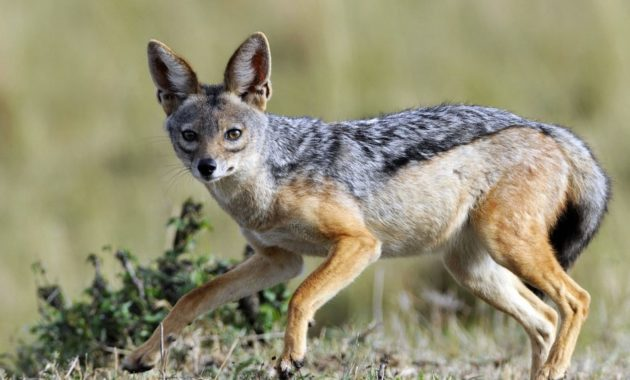 animals that start with j : Jackal