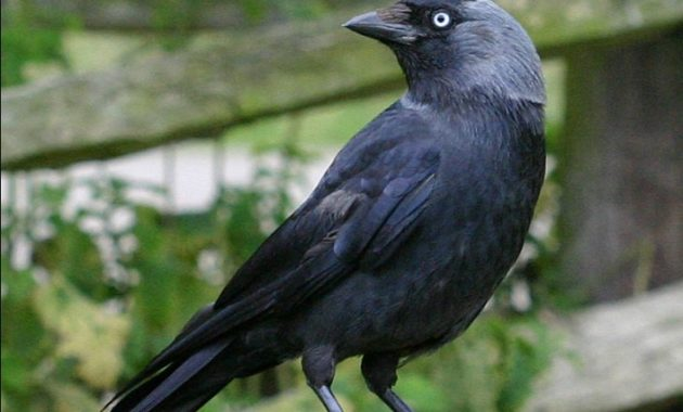 animals that start with j : Jackdaw