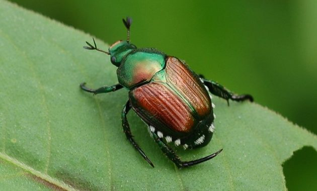 animals that start with j : Japanese Beetle