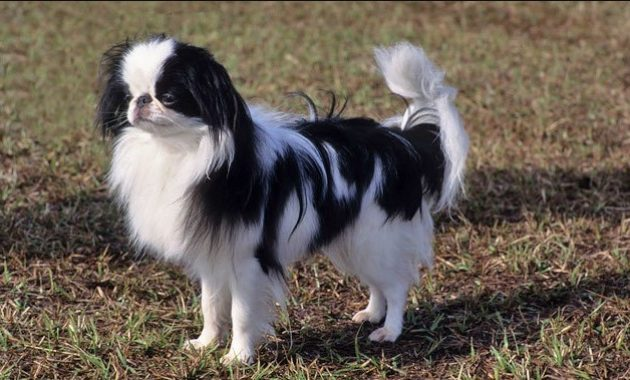 animals that start with j: Japanese Chin
