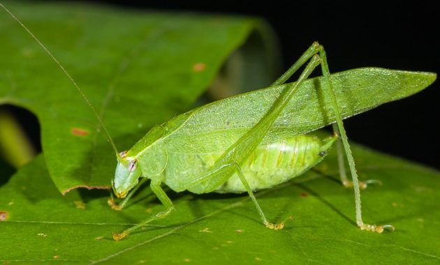animals that start with k : Katydid