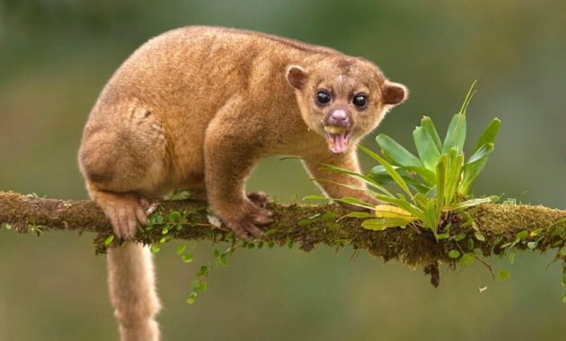 animals that start with k : Kinkajou