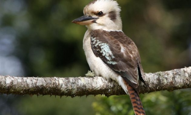 animals that start with k : Kookaburra