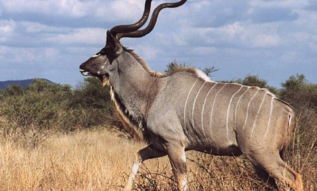 animals that start with k : Kudu