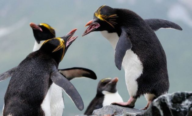 animals that start with m: Macaroni Penguin
