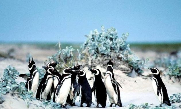 animals that start with m: Magellanic Penguin