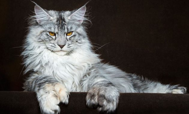 animals that start with m: Maine Coon