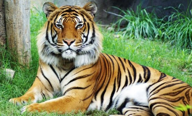 animals that start with m: Malayan Tiger