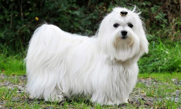 animals that start with m: Maltese