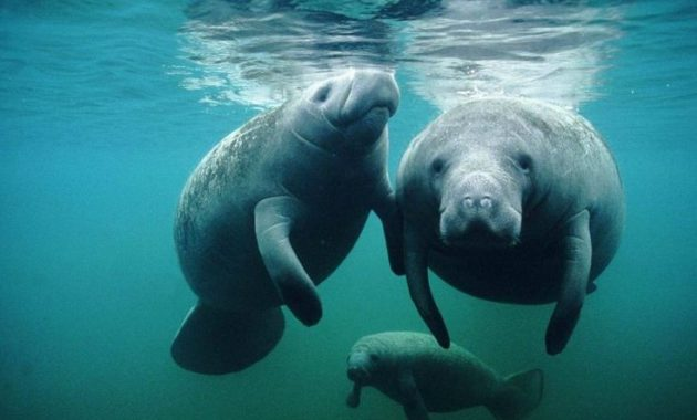 animals that start with m: Manatee