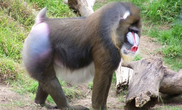 animals that start with m: Mandrill
