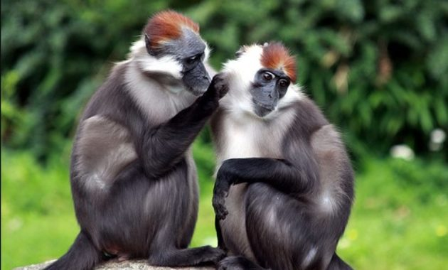 animals that start with m: Mangabey