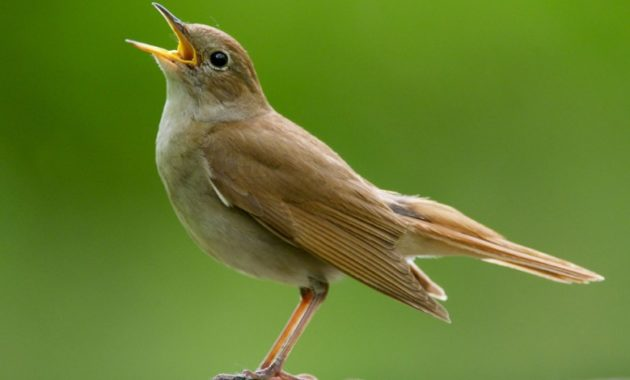 animals that start with n: Nightingale