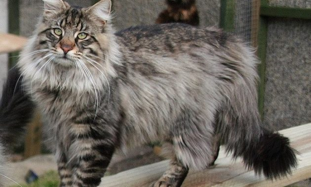 animals that start with n: Norwegian Forest