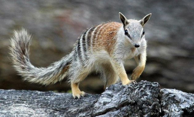 animals that start with n: Numbat