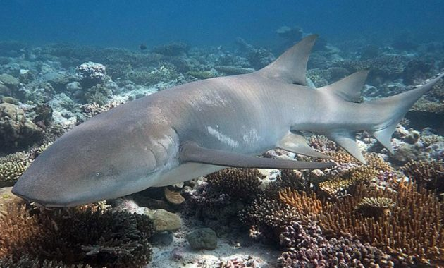 animals that start with n: Nurse Shark
