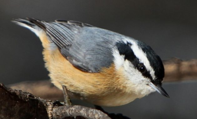 animals that start with n: Nuthatches