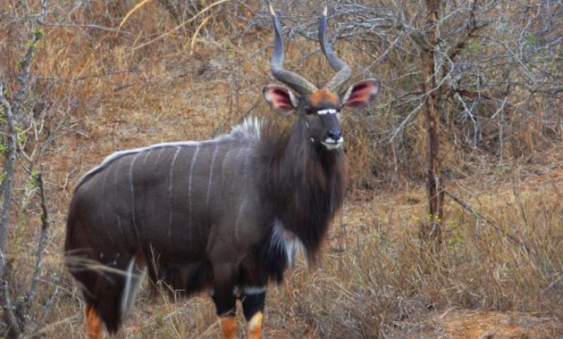 animals that start with n: Nyala
