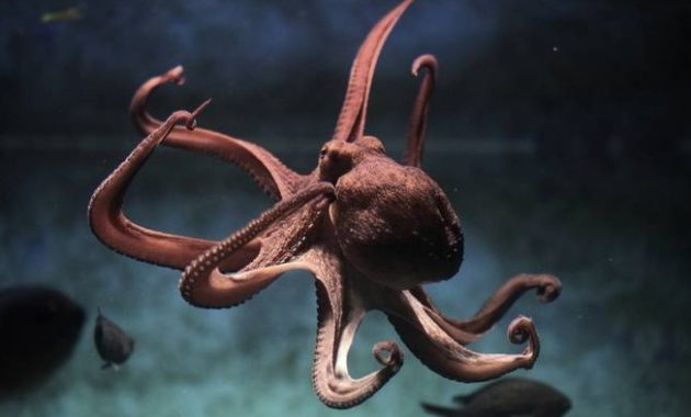 animals that start with o: Octopus