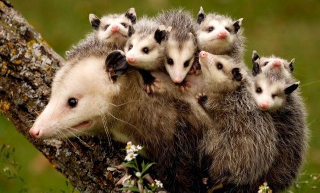 animals that start with o: Opossum
