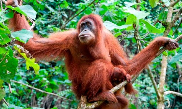 animals that start with o: Orangutan