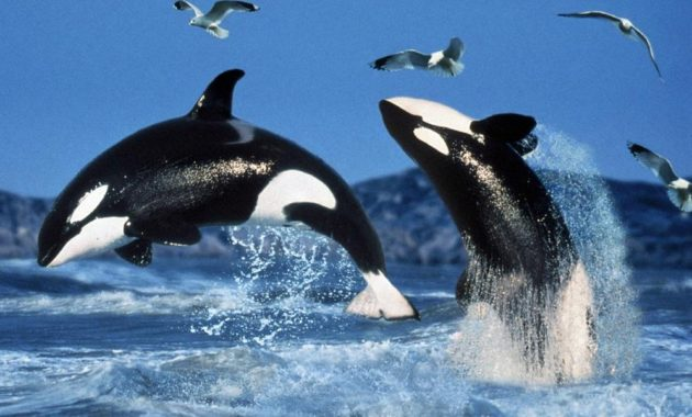 animals that start with o: Orca