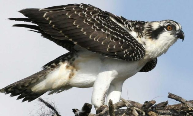 animals that start with o: Osprey