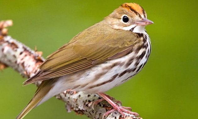 animals that start with o: Ovenbird